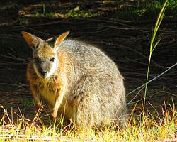 A Tammar wallaby in Stokes Bay, Kangaroo Island, South Australia