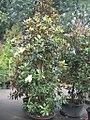 Magnolia grandiflora Little Gem 0zz.jpg