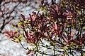 Magnolia sp. (39835611540).jpg