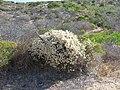 Magnoliophyta sp. (26079791318).jpg