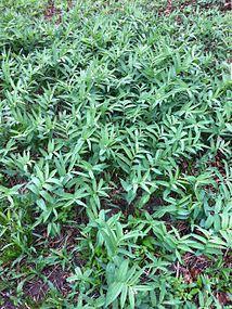 Maianthemum stellatum SCA-0112-14.jpg