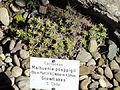 Maihuenia poeppigii - Botanischer Garten, Frankfurt am Main - DSC02520.JPG