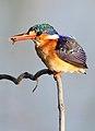 Malachite Kingfisher, Alcedo cristata at Marievale Nature Reserve, Gauteng, South Africa (21370541491).jpg