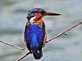 Malagasy Kingfisher RWD6.jpg