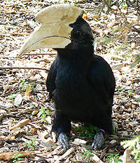 Malayan black hornbill (Anthracoceros malayanus) -London Zoo.jpg
