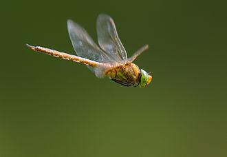 Aeshna isoceles - Male in flight