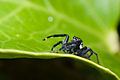 Male Jumping Spider from Brazil Northeast a.jpg