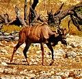 Male Kudu (5101684040).jpg