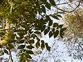 Malei-vempu (Tamil- மலைவேம்பு) (5522440690).jpg