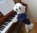 Maltese plays piano.jpg