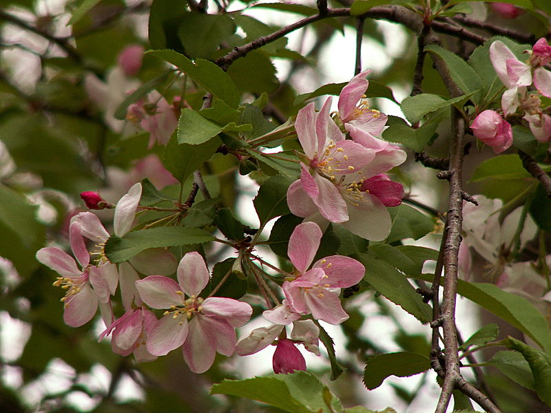 file malus coronaria 2015 04 30 frick park pittsburgh wikibooks open books for an. Black Bedroom Furniture Sets. Home Design Ideas