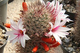 <i>Mammillaria fraileana</i> species of plant