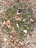 Mammillaria polyedra (5742383618).jpg