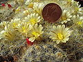 Mammillaria prolifera.with blossoms.2006-04-16.1.uellue.jpg