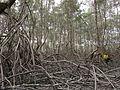 Mangrove Mapping.JPG
