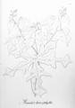 Manihot heterophylla Pohl31.png