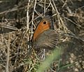 Maniola jurtina (male) - Flickr - S. Rae.jpg