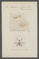 Mantispa - Print - Iconographia Zoologica - Special Collections University of Amsterdam - UBAINV0274 064 01 0029.tif