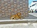 Marinilla Colombia - Street Dogs Perros Callejeros 06.jpg