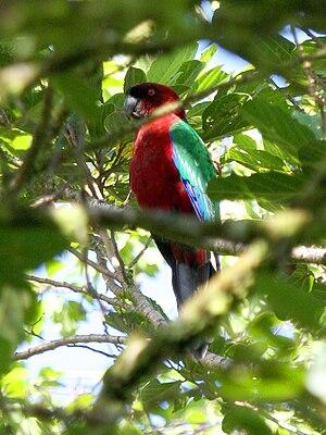 Maroon shining parrot - Image: Maroon Shining Parrot, Taveuni, Fiji 08