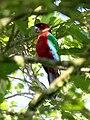 Maroon Shining Parrot, Taveuni, Fiji 08.jpg
