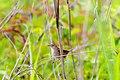 Marsh Wren - 5-16-15 - Lucius Burch (17562351390).jpg