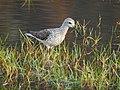 Marsh sandpiper 5.jpg