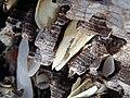 Martesia striata bivalves in wood borings (driftwood on marine beach, Cayo Costa Island, Florida, USA) 13 (26173626175).jpg