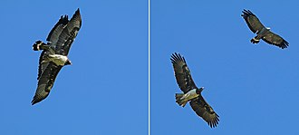 Martial eagle - Soaring with an African harrier-hawk (Polyboroides typus)