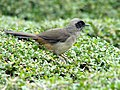 Masked Laughingthrush (Garrulax perspicillatus).jpg