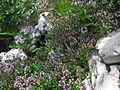 Materina dušica (Thymus vulgaris) - Komarča, NW Slovenia.jpg