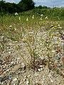 Matricaria chamomilla sl17.jpg