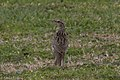 Meadowlark species Ft Travis High Island TX 2018-03-27 14-05-17 (39250905410).jpg