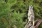 Meercat - Cotswold Wildlife Park (28959210220).jpg