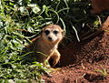 Meerkat emerging from burrow (5767867873).jpg