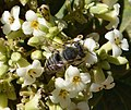 Megachilidae. Probably Megachile (Eutricharaea) pilidens female (33420429705).jpg