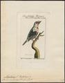 Megalaima rubricapilla - 1772-1829 - Print - Iconographia Zoologica - Special Collections University of Amsterdam - UBA01 IZ18800054.tif