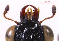 Megalopinus caelatus 0157226 head.tif