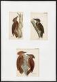 Meiglyptes - 1700-1880 - Print - Iconographia Zoologica - Special Collections University of Amsterdam - UBA01 IZ18700245.tif