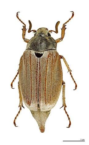 http://upload.wikimedia.org/wikipedia/commons/thumb/8/81/Melolontha_melolontha_MHNT.jpg/290px-Melolontha_melolontha_MHNT.jpg