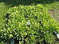 Menyanthes trifoliata - Botanischer Garten, Frankfurt am Main - DSC03221.JPG