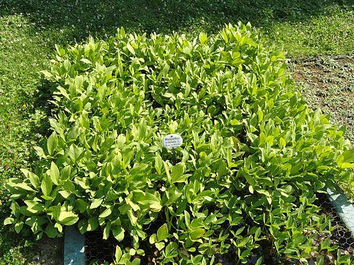 Menyanthes trifoliata - Botanischer Garten, Frankfurt am Main - DSC03221