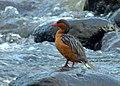 Merganetta armata (Pato de torrente) - Flickr - Alejandro Bayer (2).jpg