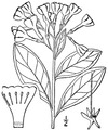 Mertensia virginica (L.) Pers. ex Link Virginia bluebells.tiff