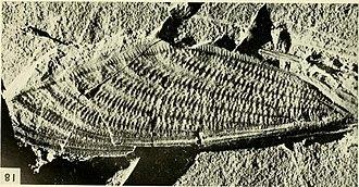 Cicada - Mesozoic fossil forewing of Mesogereon superbum, Australia