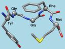 Met-enkephalin 1plx model 1