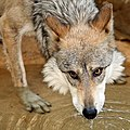 Mexican Wolf lapping water.jpg