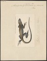Microlophus lessoni - 1700-1880 - Print - Iconographia Zoologica - Special Collections University of Amsterdam - UBA01 IZ12800119.tif