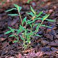 Microstegium vimineum 2307199.jpg