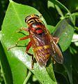 Milesia crabroniformis. Syrphidae - Flickr - gailhampshire (3).jpg